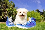 SO FLUFFY!! - Malti-Pom male puppy 4 sale! | Puppy at 12 weeks of age for sale