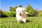 Picture of Super Handsome Malti Poo Hybrid Male Puppy 4 Sale!