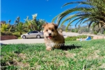 Picture of Handsome Morkie Hybrid Male Puppy for Sale!