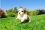 Picture of Handsome Little Guy!! - Parti Morkie Male Puppy