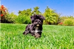 Picture of Adorable & Tiny Morkie Hybrid Female Puppy in CA
