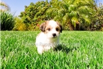 Picture of PERFECT!! - Parti Morkie Hybrid Male Puppy 4 Sale!