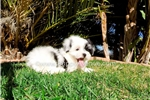 Picture of Super Handsome Parti Morkie Hybrid Male Puppy!!