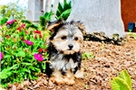 Picture of Super Cute Morkie Hybrid Male Puppy Available!!