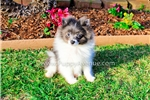Picture of Stunning Blue Pomeranian Female Puppy for Sale!