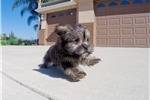 Picture of PRECIOUS!! - Shorkie Female Hybrid Puppy 4 Sale!