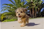 Picture of Beautiful Shorkie Hybrid Female Puppy Available!!