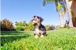 Picture of Super Cute Yorkiepoo Hybrid Female Puppy 4 Sale!!