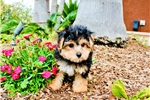 Picture of Gorgeous Yorkie Poo Female Puppy For Sale!