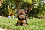 Picture of Absolutely Perfect ACA Yorkie Female Puppy!!
