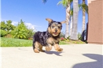 Picture of Super Cute Yorkshire Terrier Male Puppy For Sale!