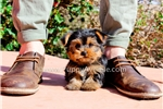 Picture of Stunning ACA Yorkshire Terrier Male Puppy for Sale