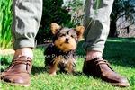 Picture of Super Adorable ACA Yorkshire Terrier Female Puppy