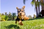 Picture of AWESOME! - ACA Yorkshire Terrier Male Puppy 4 Sale