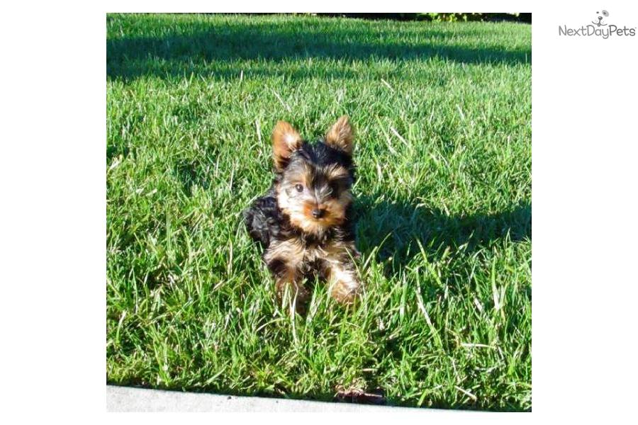 -female-puppy-sale-in-san-diego-cadog-yorkshire-terrier-yorkie-puppy ...