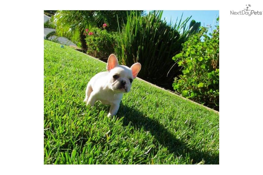 French Bulldog puppy for sale near San Diego, California ...