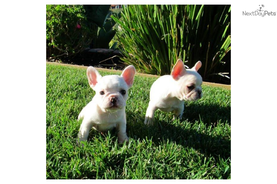 ... for sale for $2,250. TINY FRENCH BULLDOG Female Puppy in California