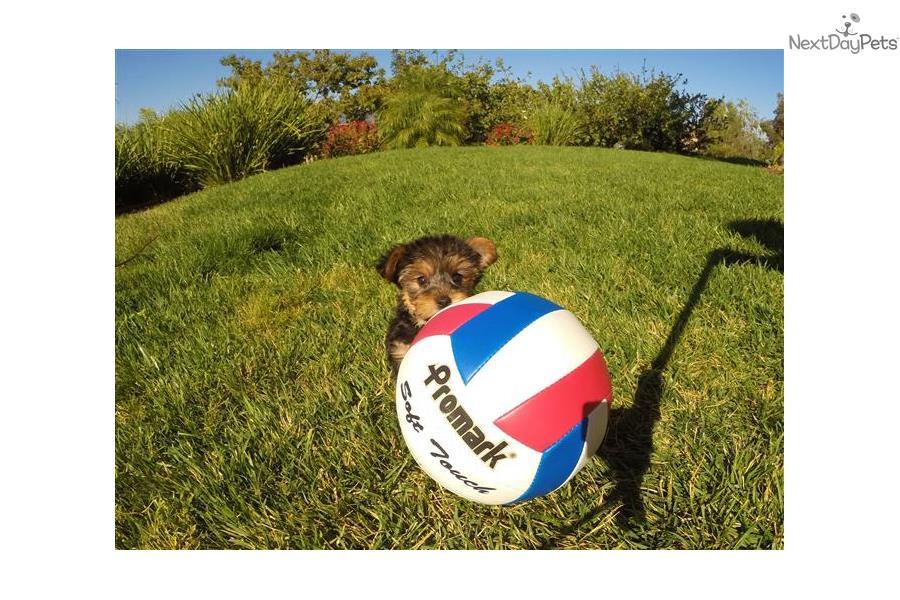 Yorkshire Terrier Puppy Food Toronto