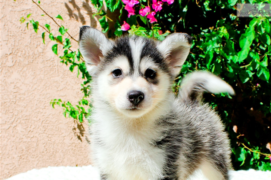 Pomsky for sale in los angeles