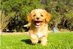 Picture of Adorable CavaPoo (F1) Hybrid Female Puppy