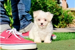 Picture of Super Small AKC Maltese Female Puppy 4Sale