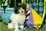 Picture of GORGEOUS!! MaltiPom Female Puppy 4 Sale!!