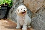 Picture of CUTEST Female MaltiPoo Puppy!