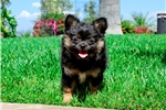 Picture of Lilac the PomChi Female Puppy! 3.5 lbs full grown