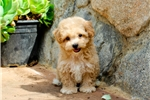 Picture of Teddy Bear -  Shih-Poo Female Puppy - ADORABLE