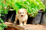 Picture of Teddybear Shih-Poo Male Puppy