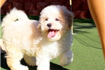 Picture of VIDEO AD* Teddybear Shih-Poo Male Puppy