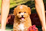 Picture of *VIDEO AD* Teddybear Shih-Poo Female Puppy