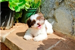 Picture of ACA - GORGEOUS - Shih Tzu Female with GREEN EYES
