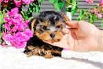 Picture of PERFECT FACE! Yorkshire Terrier Female Puppy!!!!