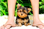 Picture of PERFECT FACE! Yorkshire Terrier Male Puppy!!!!