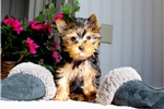 Picture of Mini Yorkie Male Puppy -Will be 4-5 lbs as adult