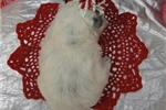 Picture of BROOK  ~ AKC REGISTERED ~  WWW.JACOKENNEL.COM