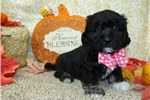 Picture of KELLY ~~ 1ST GENERATION COTON-POO