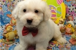 Picture of TOMMY  ~ AKC REGISTERED  ~  WWW.JACOKENNEL.COM