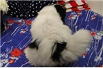 Picture of BITSY  ~ AKC REGISTERED  ~  WWW.JACOKENNEL.COM