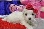 Picture of BUFFY  ~ AKC REGISTERED ~  WWW.JACOKENNEL.COM