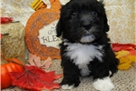 Picture of KENNY ~~ 1ST GENERATION COTON -POO