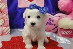 Picture of BLOSSUM  ~ AKC REGISTERED ~  WWW.JACOKENNEL.COM
