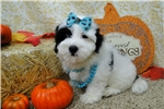 Picture of LAURIE ~~ AKC REGISTERED ~~ WWW.JACOKENNEL.COM