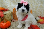 Picture of LILLY ~~ AKC REGISTERED ~~ SPAYED