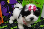 Picture of BESSIE  ~ AKC REGISTERED  ~  WWW.JACOKENNEL.COM