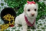 Picture of LILAC  ~ AKC REGISTERED  ~  WWW.JACOKENNEL.COM