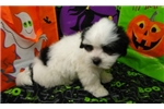 Picture of CARL  ~ AKC REGISTERED  ~  WWW.JACOKENNEL.COM