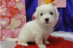 Picture of BETTE  ~ AKC REGISTERED ~  WWW.JACOKENNEL.COM