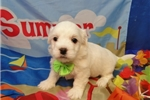 Picture of NORRIS ~ AKC REGISTERED  ~  WWW.JACOKENNEL.COM